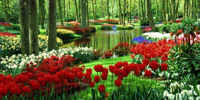 Тюльпаны многолетние