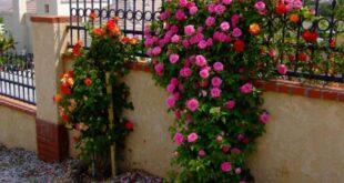 Сад вашей мечты: Когда сажать вьющиеся розы?